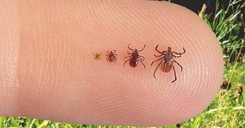 Lyme, silenciosa y tramposa enfermedad